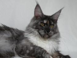 Maine coon kitten for sale moriah 1.jpg