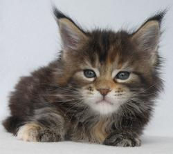 brown tabby maine coon breeder kitten in