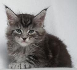 silver maine coon male kitten benson 1.j