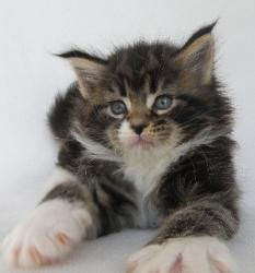 xia 5 week old maine coon kitten 2.jpg