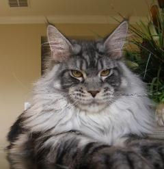 Maine coon kitten for sale sirius 1.jpg