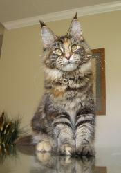 Phantasie a brown patched tabby maine co