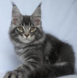 grayson 11 week old mc kitten 2.jpg