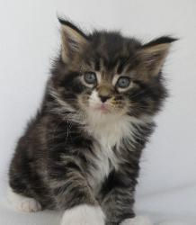 xia 5 week old maine coon kitten 1.jpg