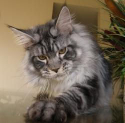 Maine coon kitten for sale sirius 2.jpg