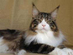 maine coon kittens for sale orlando fl c