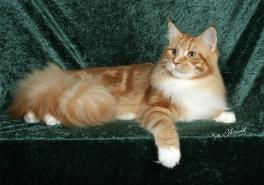 felix green back drop red maine coon mal