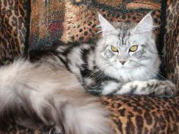 mystique silver breeding maine coon kitt