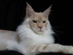 Maine coon kitten for sale milan 2.jpg