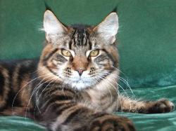 Maine coon kittens for sale leo 2.jpg