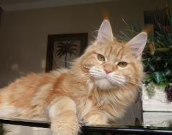 emotion a red girl maine coon breeder in
