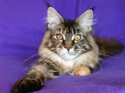 Maine coon cat florida kiera 2.jpg