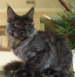 Incognito black male maine coon.jpg