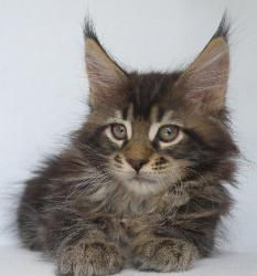 Zephyr boy maine coon kitten for sale 2.
