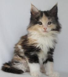 wala 8 week old maine coon 2.jpg