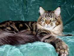 Maine coon kittens for sale leo 1.jpg