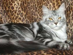 Maine coon cat osteen fl captiva 1.jpg