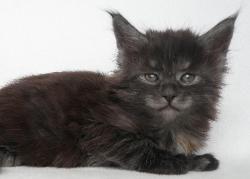 black smoke maine coon kitten breeder in