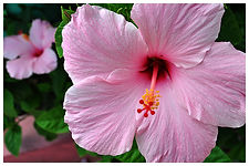 mood_horz-pink-hibiscus.jpg