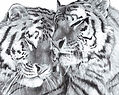 Tigers Large Drawing