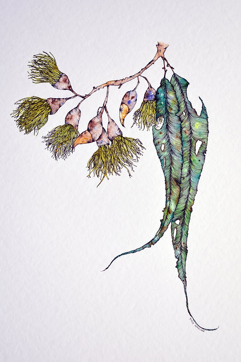 India Gladwood - Flowering Gum, watercolour & ink on paper, 2018