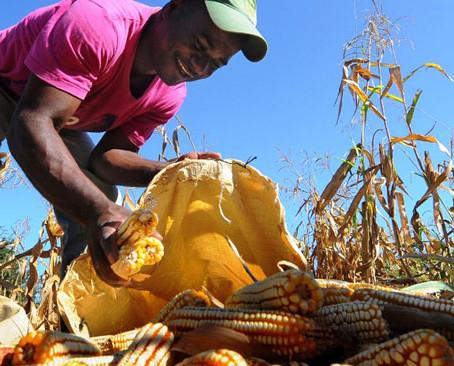 Sinaloa rompe su propio récord en la cosecha de maíz.