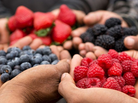 Empresas de berries, en guardia contra la mosca del vinagre.