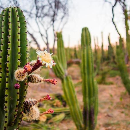 Avanza la tecnificación del cultivo de pitayas.