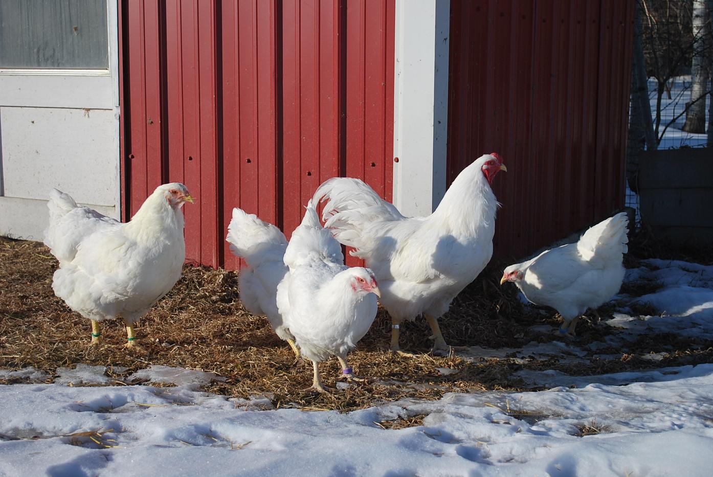 White Chantecler Flock