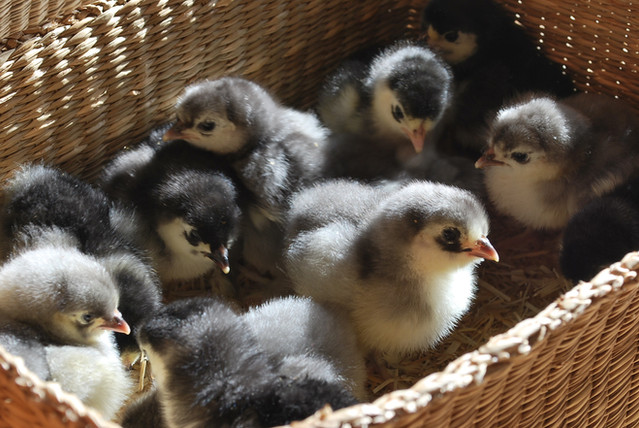 Blue & Black Cochin chicks