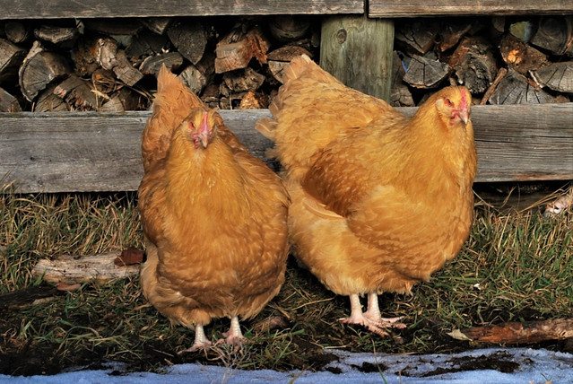 Buff Orp pullets spring 2019