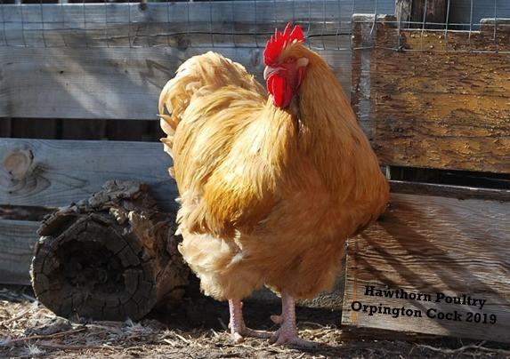 Orpington Cock 2019