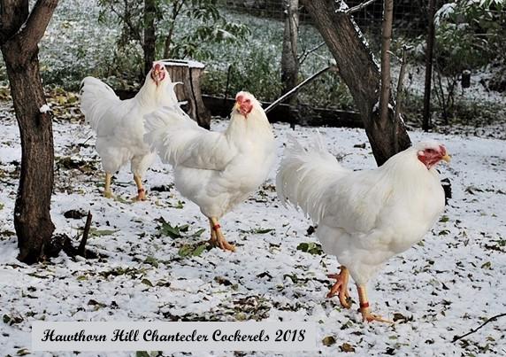 Cockerels 2018