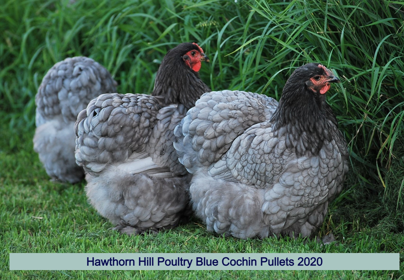 Blue Cochins 2020