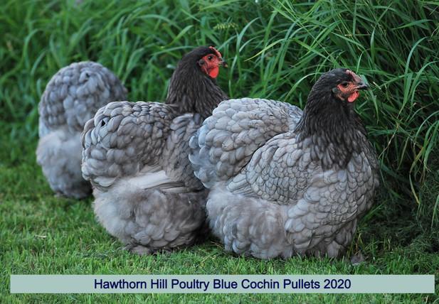 Blue Cochins 2020