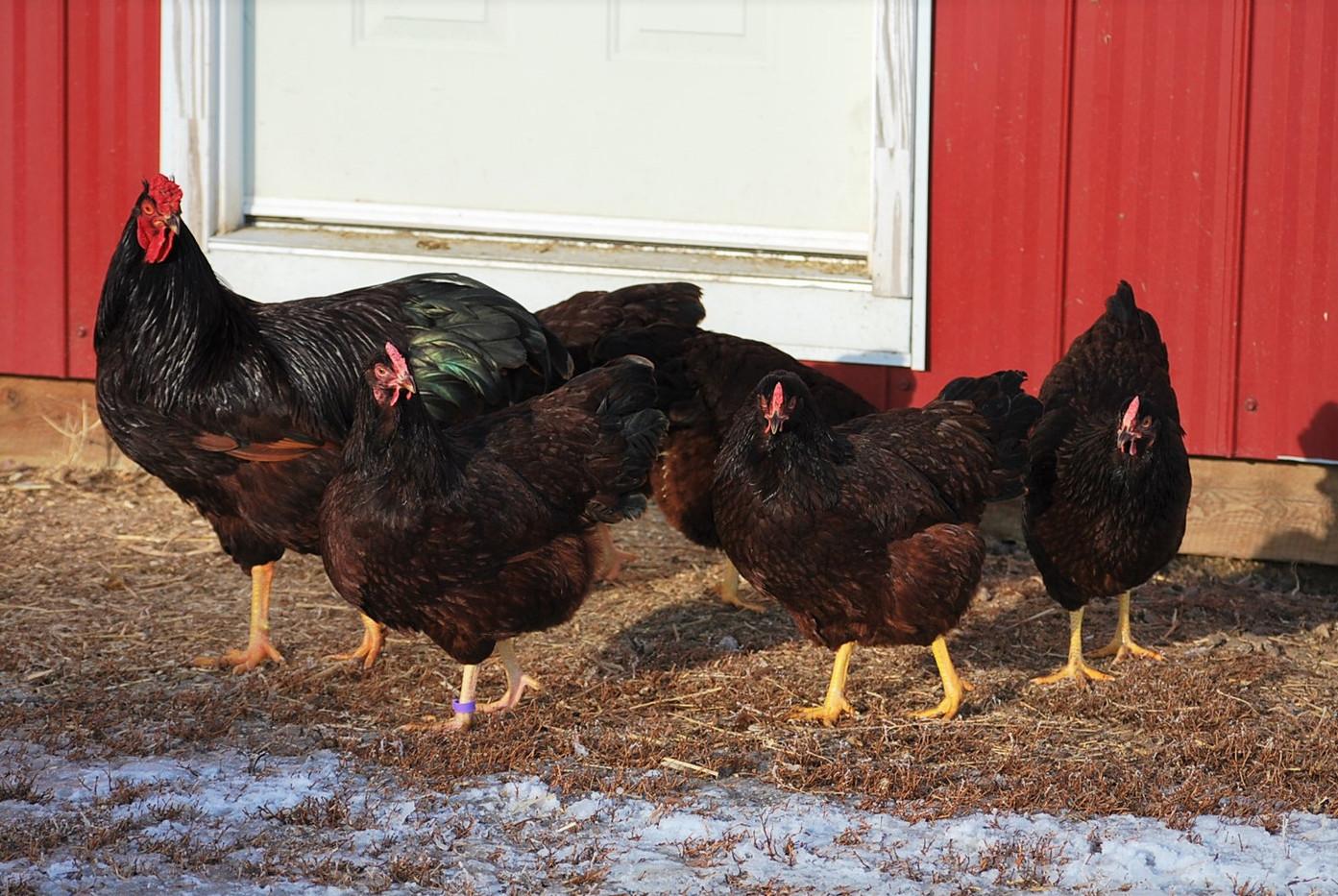 RIR breeding group