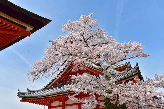 Kyoto Cherry Blossom 2016