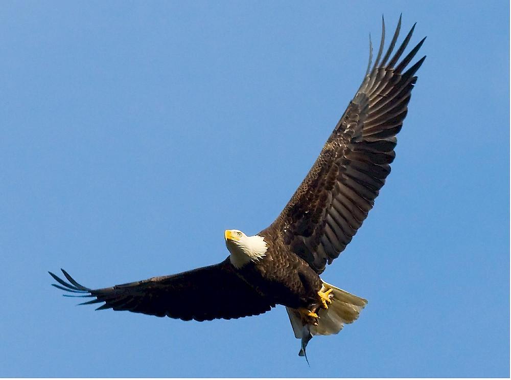 bald-eagle-529664_1280.jpg