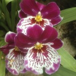 Red-Orchids-150x150.jpg