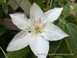 White Clematis.png