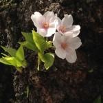 Cherry-blossom-in-bark-150x150.jpg