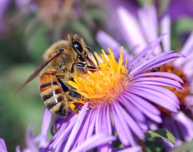honey-bee-63023_640.jpg