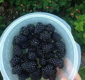 Blackberries - RonBoots Farm