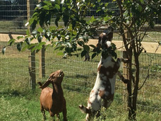 Goats Browsing - RonBoots Farm