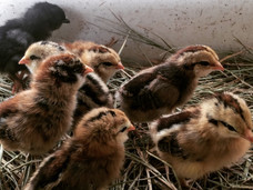 Baby Chicks - RonBoots Farm