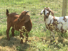 New Goats - RonBoots Farm