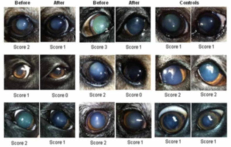 Canine drops image cataracts