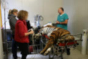 Photo 5 Tiger_surgery_preparation.jpg