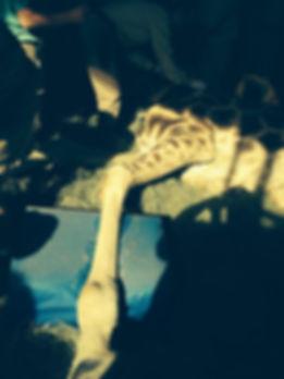 Photo 7 VetStem-Giraffe-Ankle_arthritis_