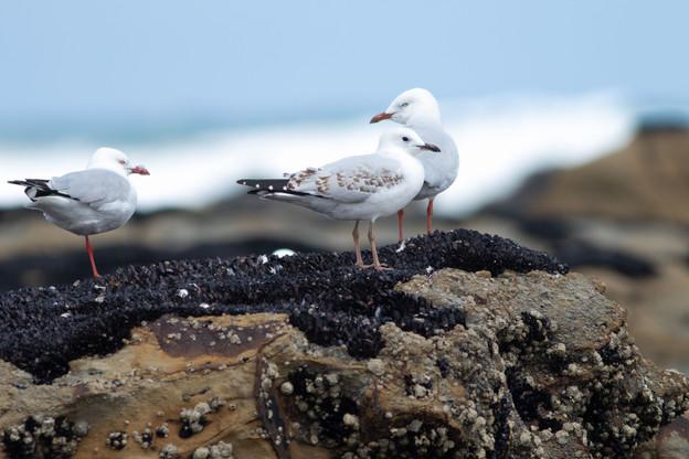 Silver gulls, surf coast